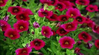 happy new year 2018 top 10 beautiful flowers part 2