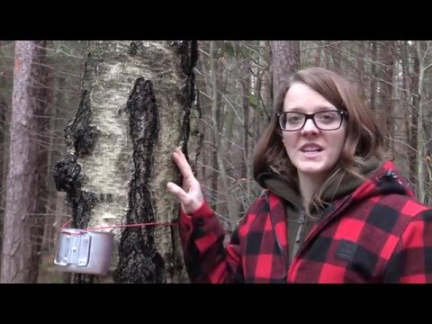 Tapping Birch Trees For Birch Sap