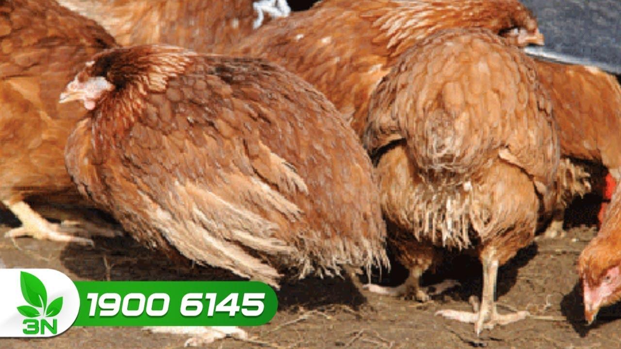Điều trị bệnh Gumboro ghép cầu trùng cho gà | VTC16