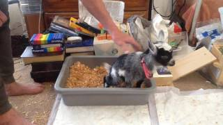 Potty-Training my Little Baby Goat