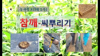 [농사정보] (5월2주)  참깨_씨뿌리기