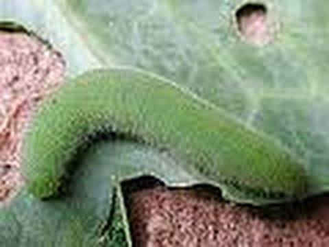 Cabbage worm defense - Hydrated lime Vs Neem oil - organic pesticide