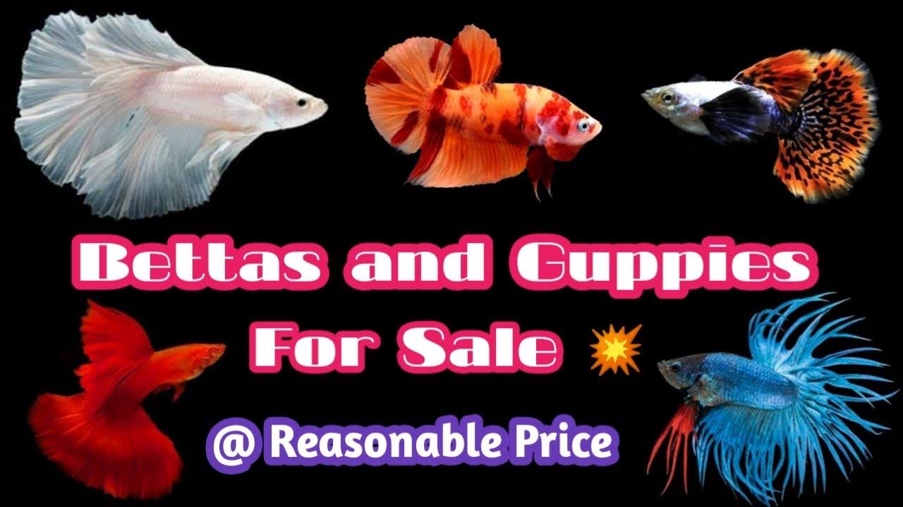 Betta Fish and Imported Guppies for Sale | Shipping all over Tamilnadu | தமிழ் | Wonder Aqua Garden