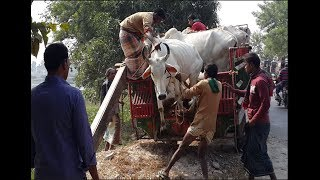 163| Indian Cow Unloading | Largest cow & Buffalo bazar in Bangladesh 2018
