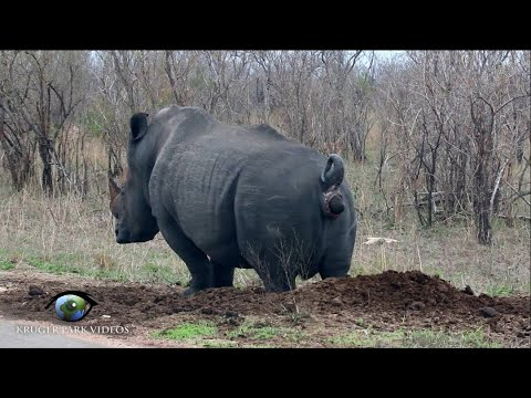 White Rhino Marks His Territory - Kruger National Park Videos