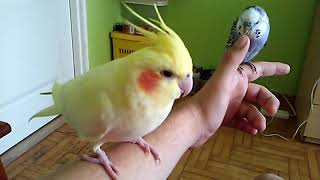 Papugi w domu -  czyli zalety i wady trzymania papug. (W opisie jeszcze dwie informacje o papugach).
