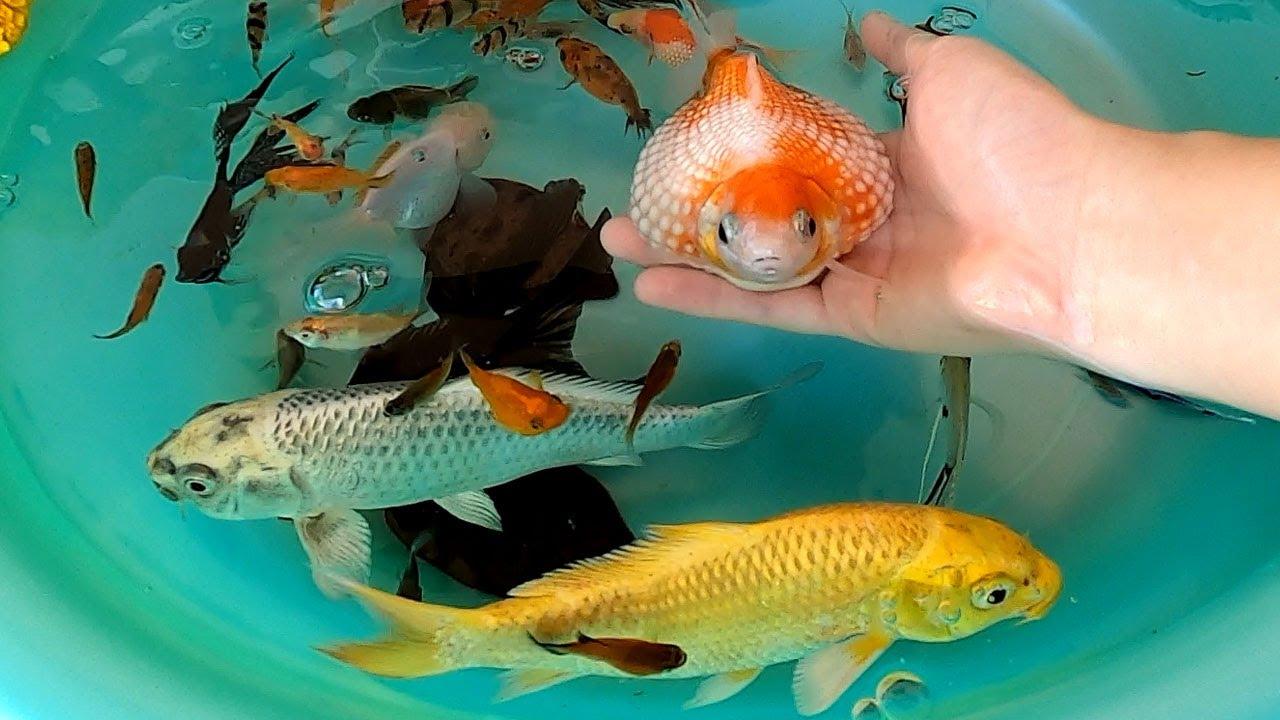 PingPong Pearl Scale Goldfish Oranda Goldfish Tiger Barb Ranchu Molly Carp Fish Cute Animals Videos