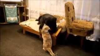 Ротвейлер характеристика. Как кошка с собакой