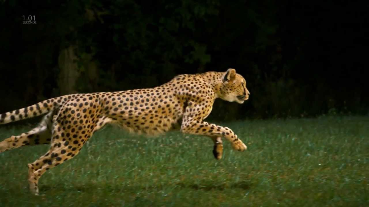 Jaguar Animal Running Speed Www Imgkid Com The Image