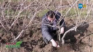 Cum se taie vita de vie @ Ce vor plantele