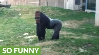 Gorilla runs upright like a human