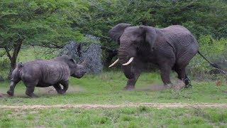 ВЕРСУС. НОСОРОГ В ДЕЛЕ.  Носорог против слона,  буйвола и льва!