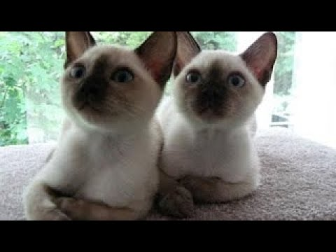 Вопрос: Кошки какой породы – самые умные?
