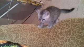Кошка Соня воспитывает котят.