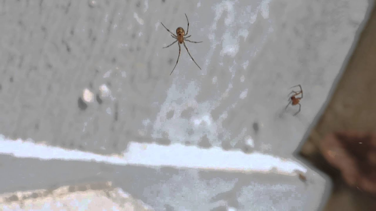 American (common) House Spiders 3
