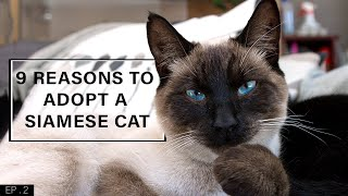 9 Reasons to adopt a Siamese Cat
