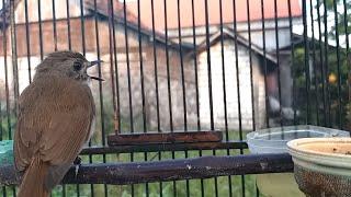 HD Audio Suara Burung Srdc Banten Nyuling Terbukti Cocok Untuk Masteran
