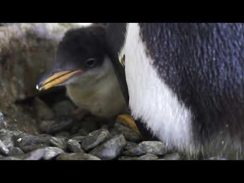 Dos pingüinos hembras incuban un huevo de otra pareja y logran criar un pollo