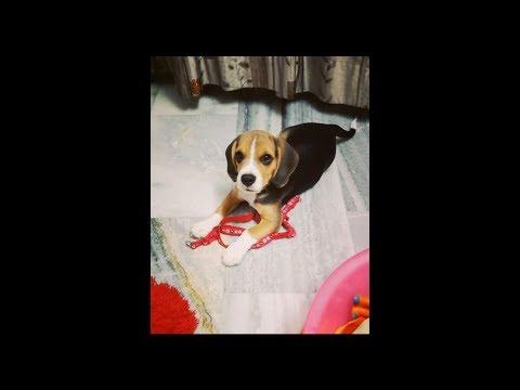 Adorable Beagle Puppies | Beagle Puppy Barking