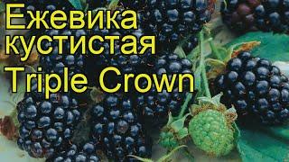 видео Ежевика Трипл краун (Тройная корона): описание и характеристика сорта, фото, отзывы