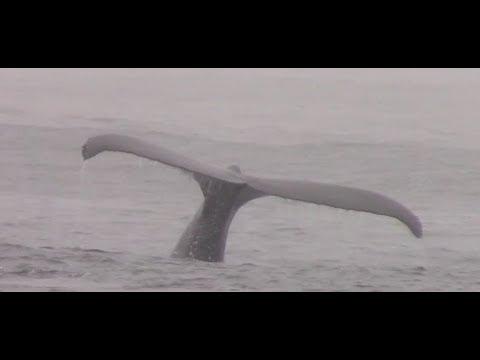 10.18.17 Humpback Whales & Risso's Dolphin #Monterey #Adventure #Travel