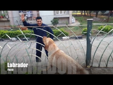 Labrador Very Happy To See His Owner