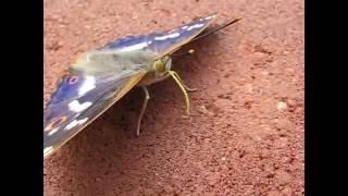 Хоботок бабочки