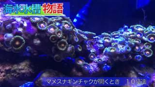 海水水槽物語 #1 マメスナギンチャクが開くとき 10倍速