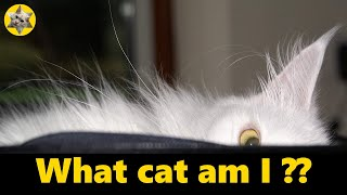How to tell if your cat is a Maine Coon!