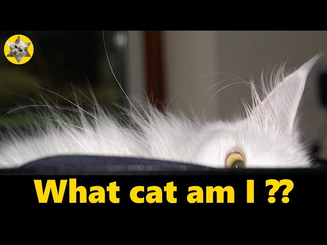 Is my cat a Maine Coon? How to tell