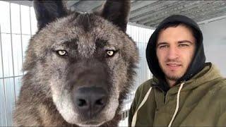 5 ОГРОМНЫХ И СТРАШНЫХ ВОЛКОВ СНЯТЫХ НА КАМЕРУ 2 Огромный Волк