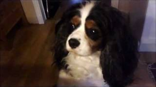 Hungry Eyes - Cavalier King Charles Spaniels