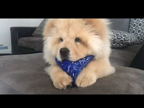 Chow chow with the bandanna