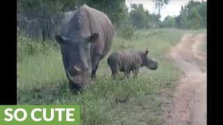 Baby rhino adorably tries to scare off safari vehicle