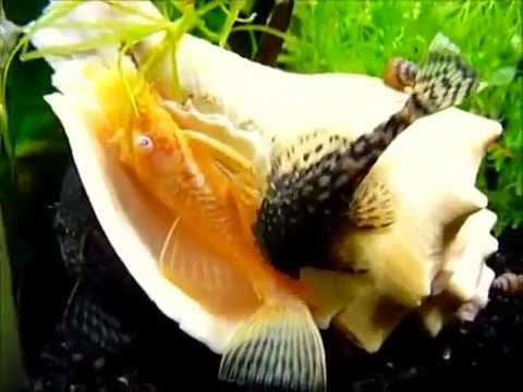 Сом анциструс золотой (Ancistrus dolichopterus albino) продажа оптом