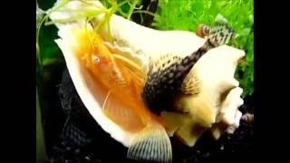 Сом анциструс золотой (Ancistrus dolichopterus albino) продажа оптом(, 2014-09-25T23:22:25.000Z)