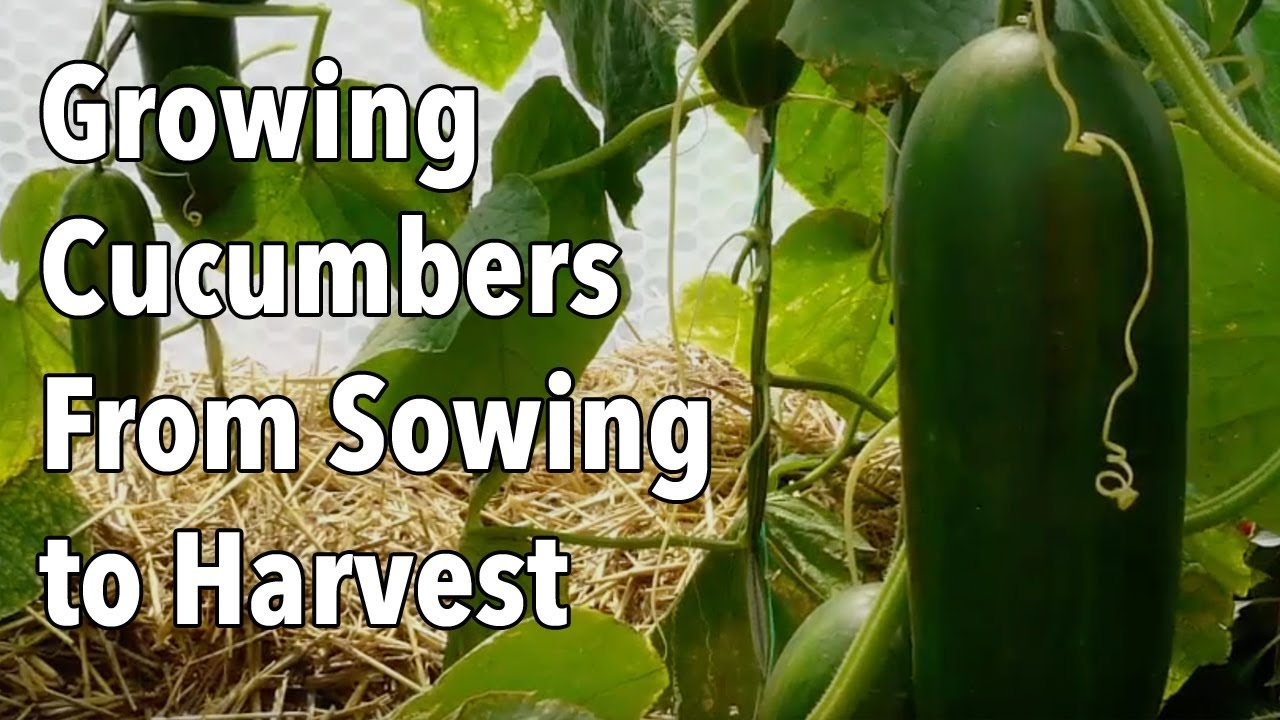 Growing Cucumbers From Sowing To Harvest Youtube