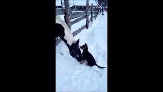 Собака+лошадь равно...