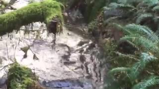Рысь ловит рыбу в дикой природе