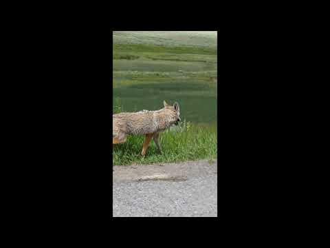 Coyote in Yellowstone
