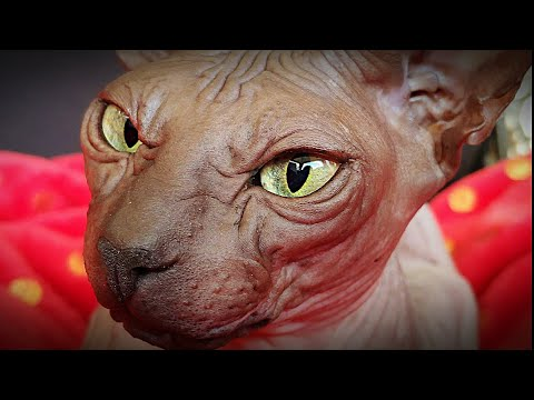 Sphynx Cat 'Chikita' - video from very closeup / DonSphynx /