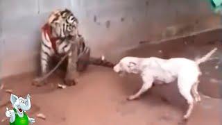 Тигр в Деле / Тигр против Слона, Собаки, Крокодила, Буйвола