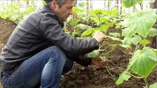 видео Корневая и стеблевая гниль огурца