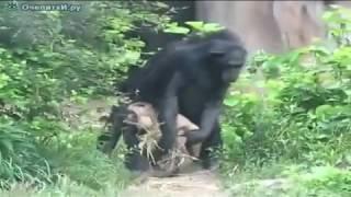 Видео прикол  про обезьян