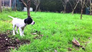 Pointer Pup - Wing Training