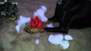 Doberman Pinscher Kills The Football Trying To Find The Squeaker