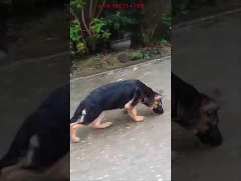 Chó becgie đức | Bán chó becgie con F1 | REVIEW chó con lứa đầu tiên tại trại chó A Thi
