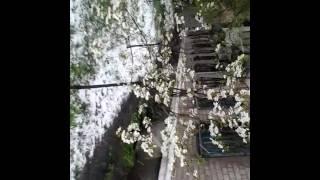 Природные катаклизмы Украины 2017г...цветы в снегу....снежный апрель