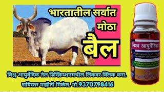 The biggest bull in India - भारतातील सर्वात मोठा बैल