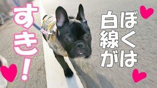 フレンチブルドッグの子犬ココです。 相変わらずお散歩では白線を歩きた...